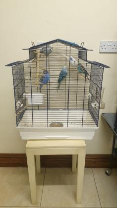 2 cheerfull, healthy, friendly Conures/ Parakeet are for sale with a large cage on castors.  , 4 budgies