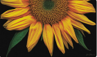 Toland Home Garden Sunflowers on Black 18 x 30-Inch Decorative Floor Mat Sunflower Portrait Flower D